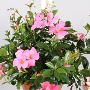 Mandevilla SUNDAVILLE PRETTY ROSE (Vireõ Plant Sales)