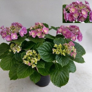 Hydrangea macrophylla HOVARIA SUPERSTARS VIOLET