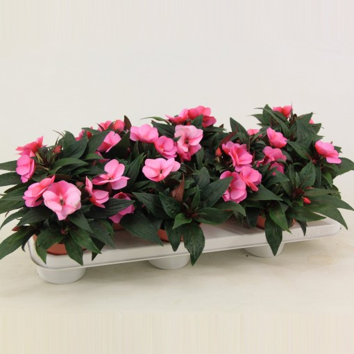 Impatiens COLORPOWER PURPLE FLAME (Valk bv, van der )