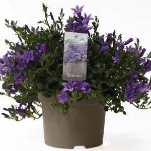 Campanula portenschlagiana AMBELLA PURPLE (OK Plant)