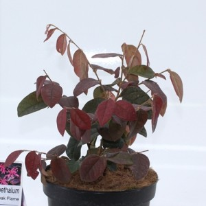 Loropetalum chinense 'Daybreak's Flame'