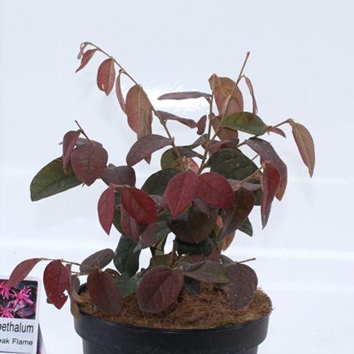 Loropetalum chinense 'Daybreak's Flame' (About Plants Zundert BV)