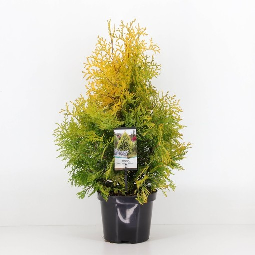 Thuja occidentalis 'Yellow Ribbon' (Bremmer Boomkwekerijen)