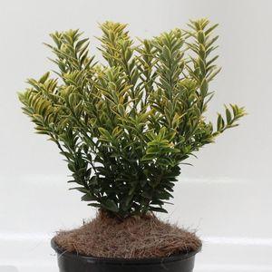 Euonymus japonicus 'Microphyllus Aureovariegatus'