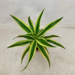 Dracaena fragrans 'Lemon Lime' (BB Plant)