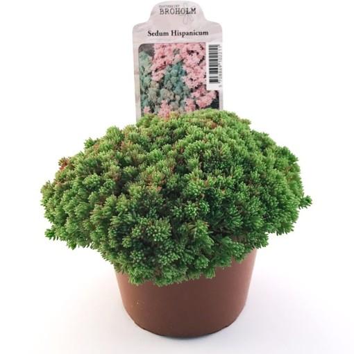 Sedum hispanicum (Gasa DK)