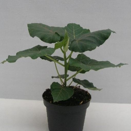 Ficus petiolaris (Gasa DK)