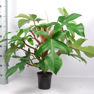 Philodendron squamiferum (Van der Arend Tropical Plantcenter)