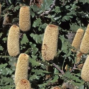 Banksia solandrii