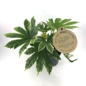 Fatsia japonica 'Variegata'