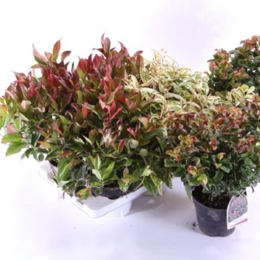 Leucothoe MIX (Experts in Green)