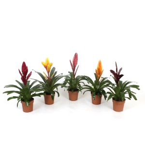 Vriesea MIX (Best Bromelia)