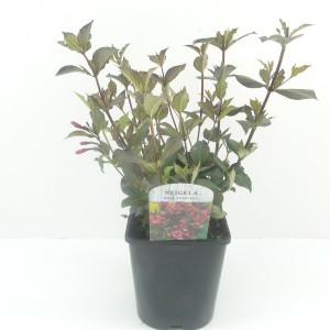 Weigela florida 'Nana Purpurea' (Hooftman boomkwekerij)