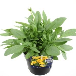 Coreopsis grandiflora 'Illico' (Kwekerij de Noordpoel)