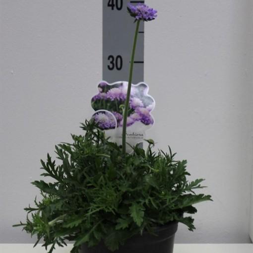 Scabiosa columbaria 'Butterfly Blue' (Van Tol & Van der Linde)