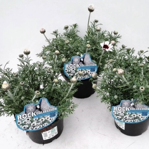 Rhodanthemum hosmariense MIX (Experts in Green)