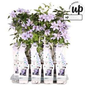 Clematis BERNADINE (Hoogeveen Plants)