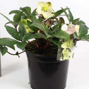 Helleborus x nigercors 'Emma' (B.D. Rijnbeek Boomkwekerijen B.V.)