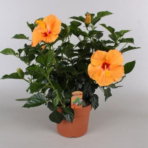 Hibiscus rosa-sinensis SUNNY KYOTO YELLOW (Vireõ Plant Sales)