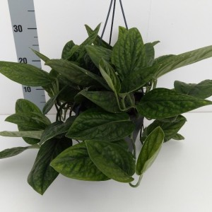 Monstera karstenianum (Experts in Green)
