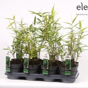 Phyllostachys nigra (Hoogeveen Plants)