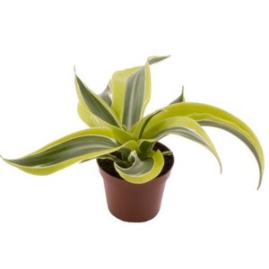 Dracaena fragrans 'Lemon Surprise'