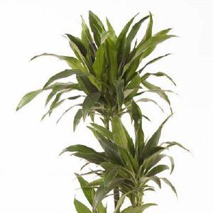 Dracaena fragrans 'Janet Craig'