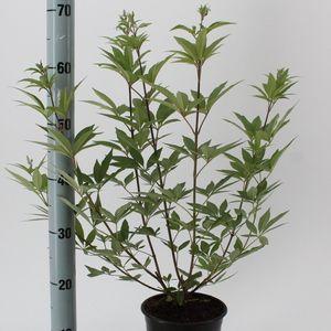 Vitex agnus-castus (About Plants Zundert BV)