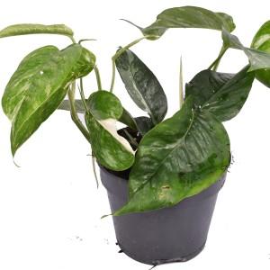 Epipremnum pinnatum 'Variegata'