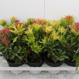 Pieris japonica 'Mountain Fire' (Experts in Green)