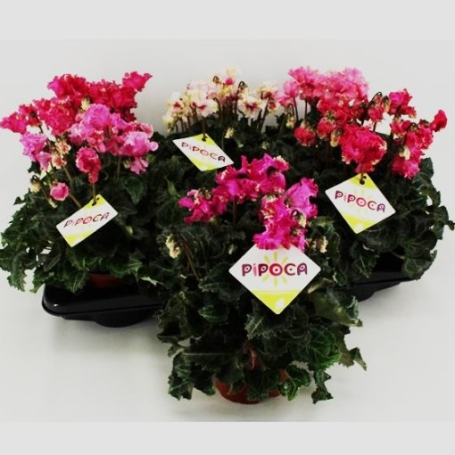 Cyclamen persicum LATINIA PIPOCA MIX (Sonneveld Plants)