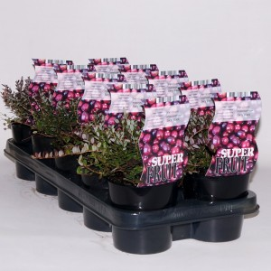 Vaccinium macrocarpon 'Early Black'