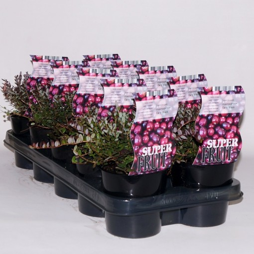 Vaccinium macrocarpon 'Early Black' (BOGREEN Outdoor Plants)