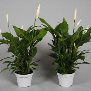Spathiphyllum 'Strauss'