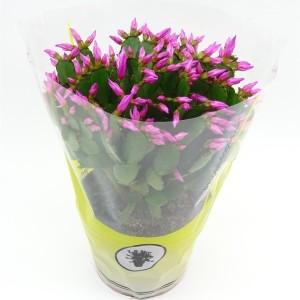Rhipsalidopsis MIX (Vries Potplantencultures BV, J. de)