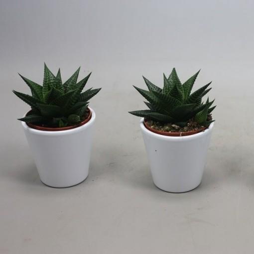 Haworthia limifolia (Ubink)