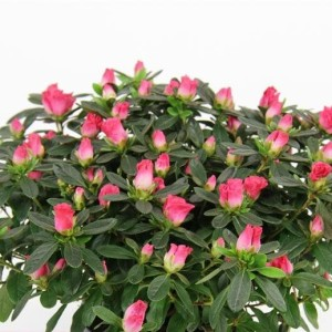 Rhododendron HORTINNO PRINCES PINKY