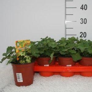 Alchemilla mollis (Experts in Green)
