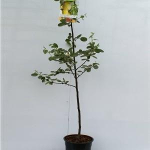 Cydonia oblonga (Fruithof)