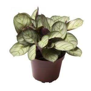 Maranta leuconeura 'Mint'