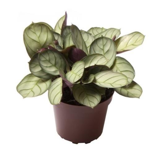 Maranta leuconeura 'Mint' (Gasa DK)