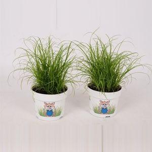Cyperus alternifolius 'Zumula' (Bunnik Plants)