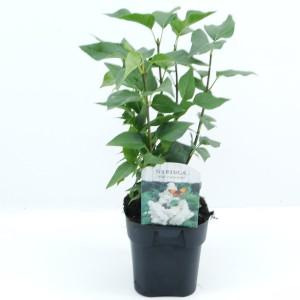 Syringa vulgaris 'Mme Lemoine' (Hooftman boomkwekerij)