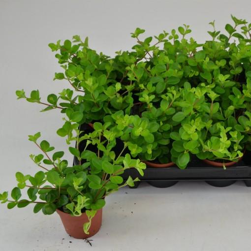 Pilea depressa (Schoenmakers Tropische Potcultures)