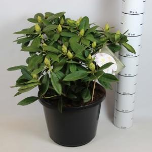 Rhododendron 'Gomer Waterer' (Rijnbeek Boomkwekerijen B.V.)