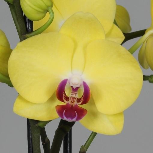 Phalaenopsis MIRAFLORE (Leerdam Orchideeën)