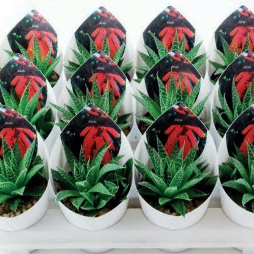 Aloe aristata (Giromagi)