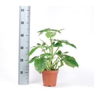 Syngonium podophyllum 'Trileaf Wonder' (Van der Arend Tropical Plantcenter)