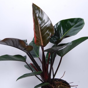 Philodendron 'Red Congo'