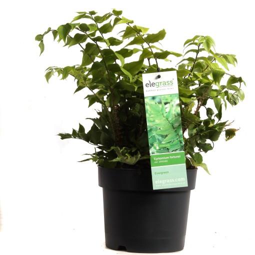 Cyrtomium fortunei clivicolum (Hoogeveen Plants)